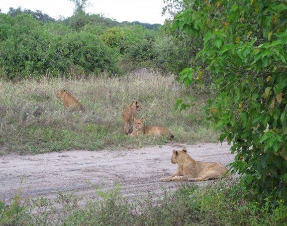 Chobe leoes
