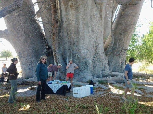Baobás de Botsuana Chapmans baobab