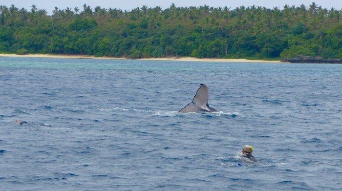 Snorkel com baleias em Tonga