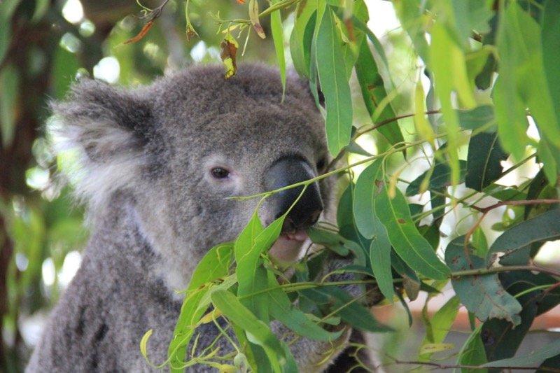 Coalas e Cangurus na Australia